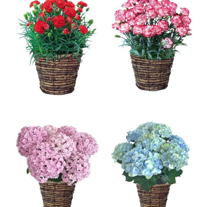母の日店頭商品【花鉢】