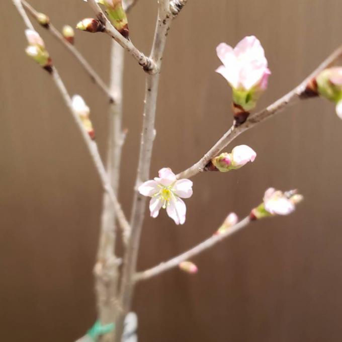 桜 🌸(鉢物)